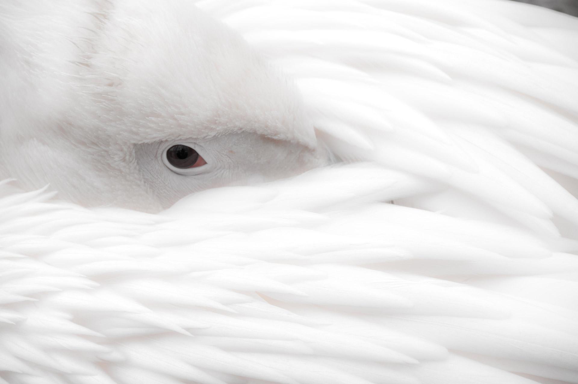 """Collection Noir & Blanc - """"Pelican - Endormissement"""""""