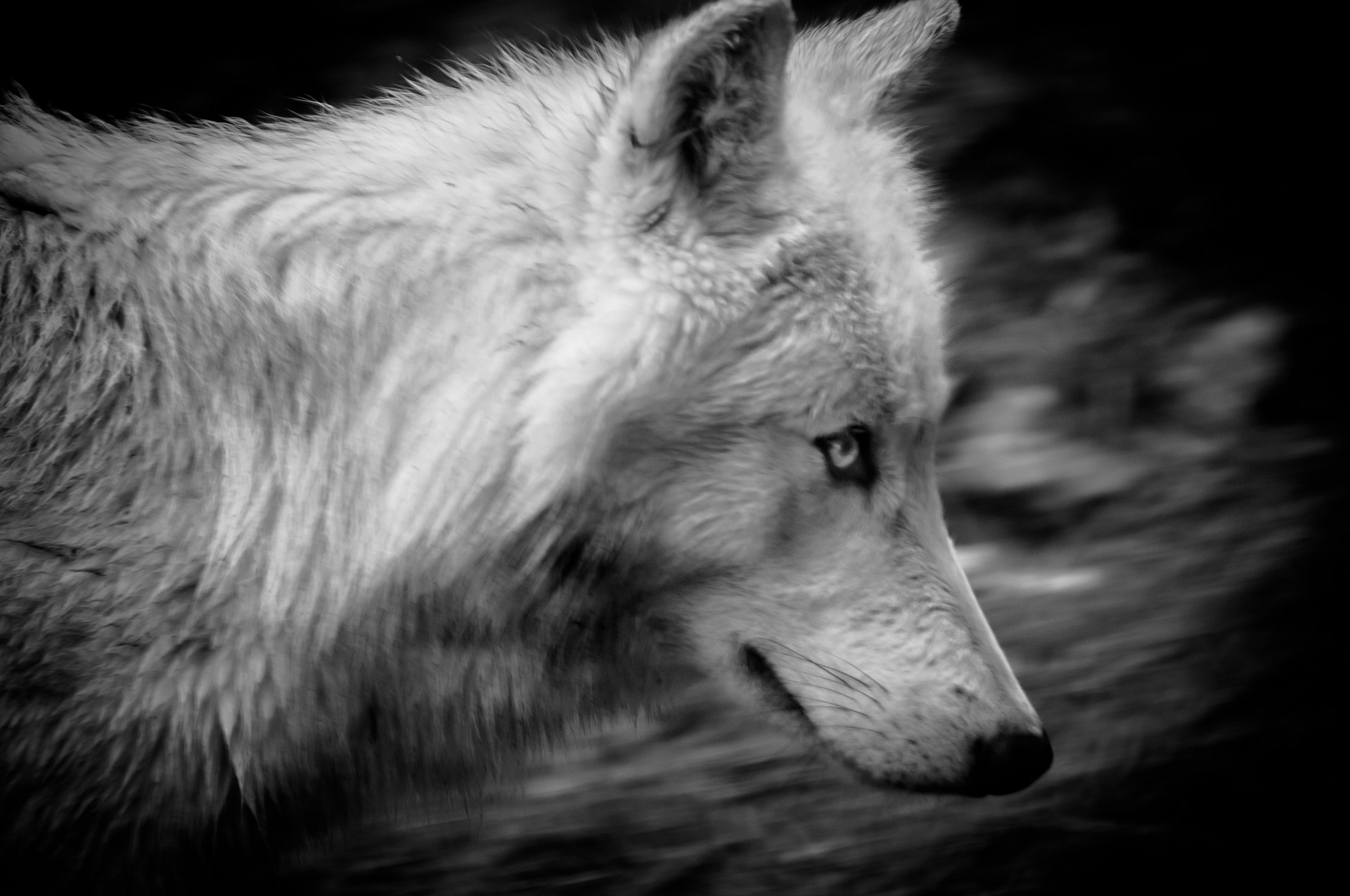 """""""Loup en chasse"""""""
