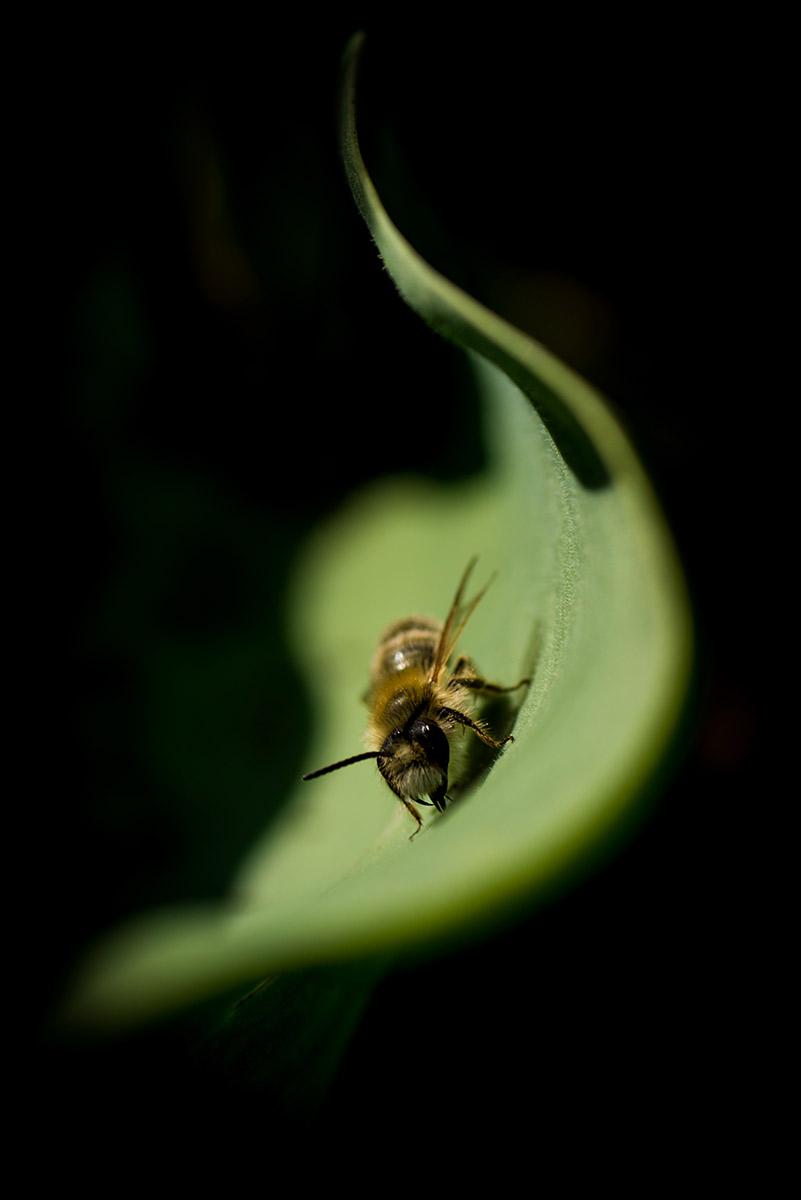 """La flamme du pollen - """"Abeille solitaire - Le regard"""""""