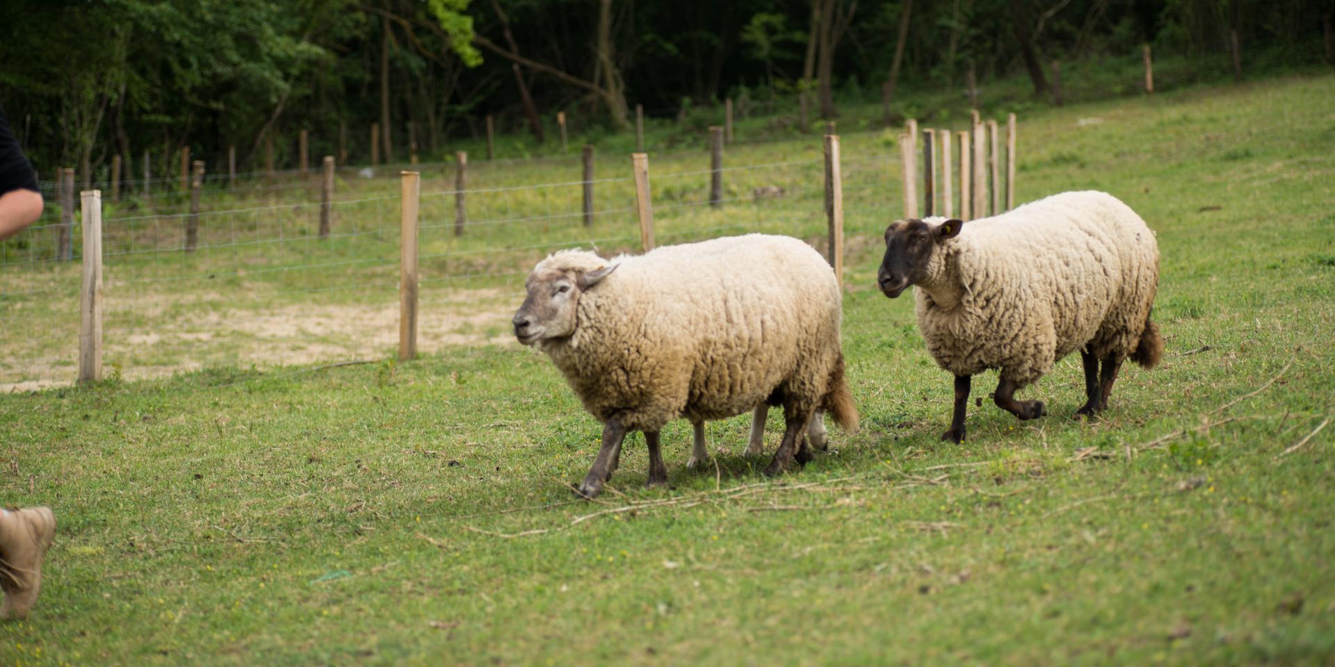 Moutons - Entrainement chien de berger du 12 juin 2018